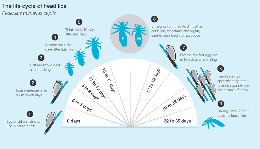 life-cycle-head-lice